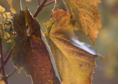 Ősz / Autumn and grapes