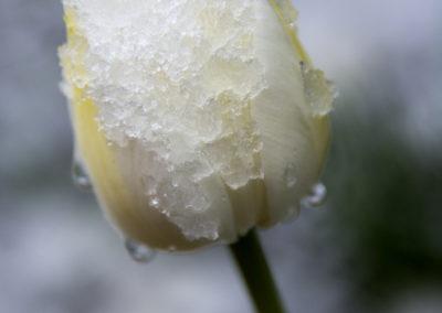 Áprisisi havas tulipán